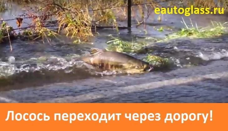 Приколы видео лосось переходит через дорогу идя на нерест!